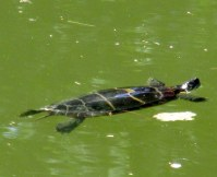 turtleinlargepondbedrockgarden17sept2016
