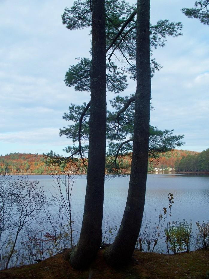 Twin trees, Nov. 2011