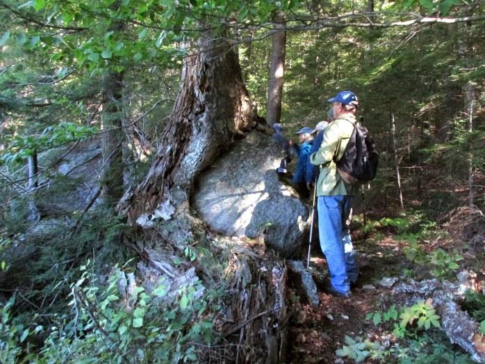 yellow birch hugging boulder, hanging on