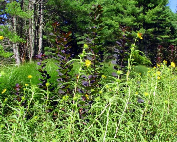 yellowrudbeckiapurplesmokeplantbbedrockgarden17sept2016