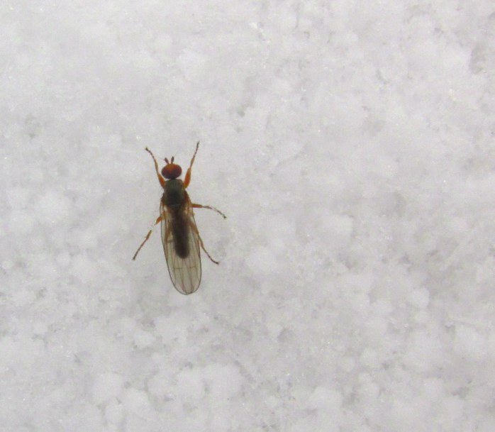 a living insect in the snow, in 32F weather