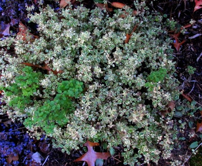 thyme, front garden, 4 Nov.