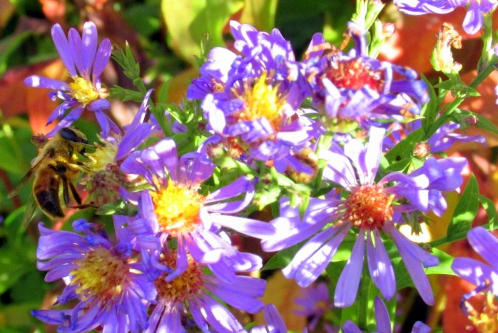 bee on 'Bluebird' aster, 19 Oct.
