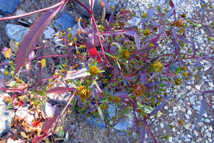 bidens plant, NH lake, Oct. 2016