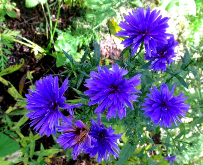 blue asters, fruit guild, 4 Oct.