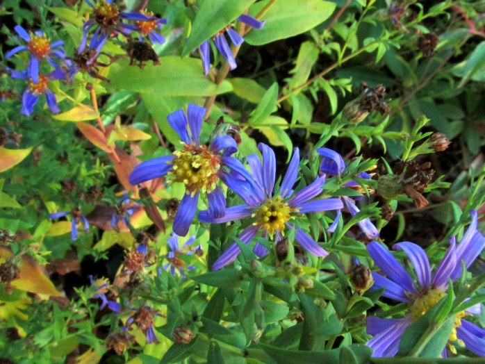 'Bluebird' asters, front yard, 4 Nov.