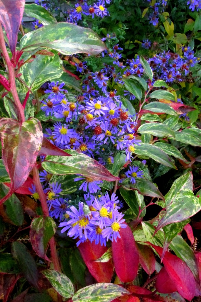 'Bluebird' aster and leucothoe foliage, 19 Oct.