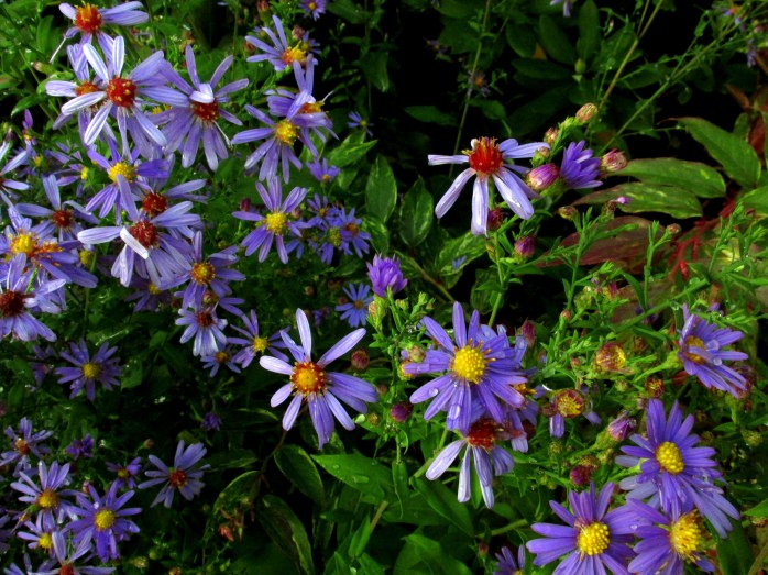 'Bluebird' asters, 4 Oct.