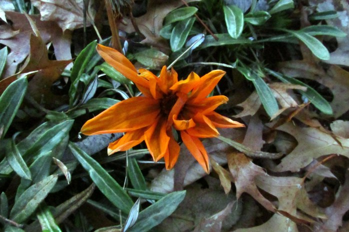 Clear Day Orange gazania, frosted but still lovely, on 2 November