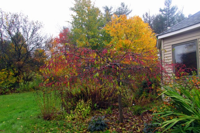 weeping 'Jade' crabapple (Norway maple behind), 22 Oct