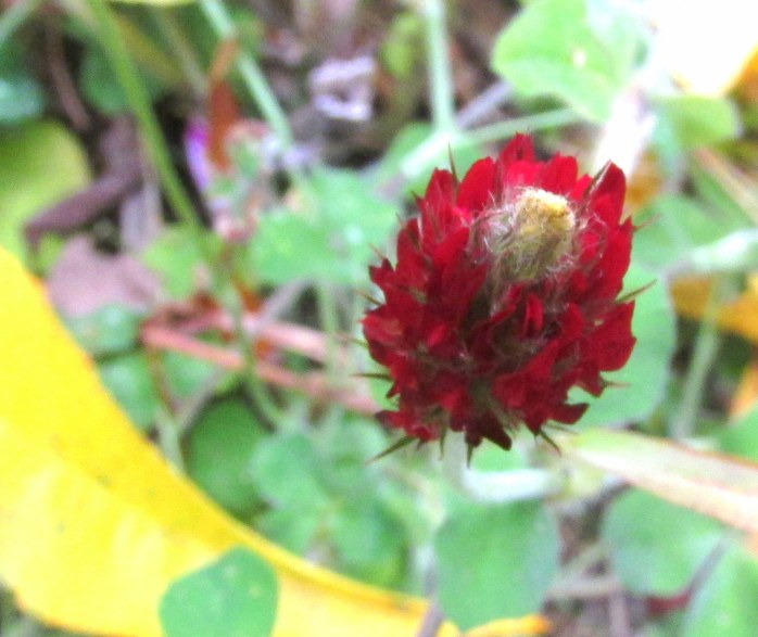 """butterfly mix"" crimson clover, fruit guild, 19 Oct."