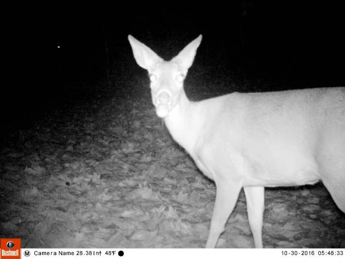 deer noticing camera, 30 Oct
