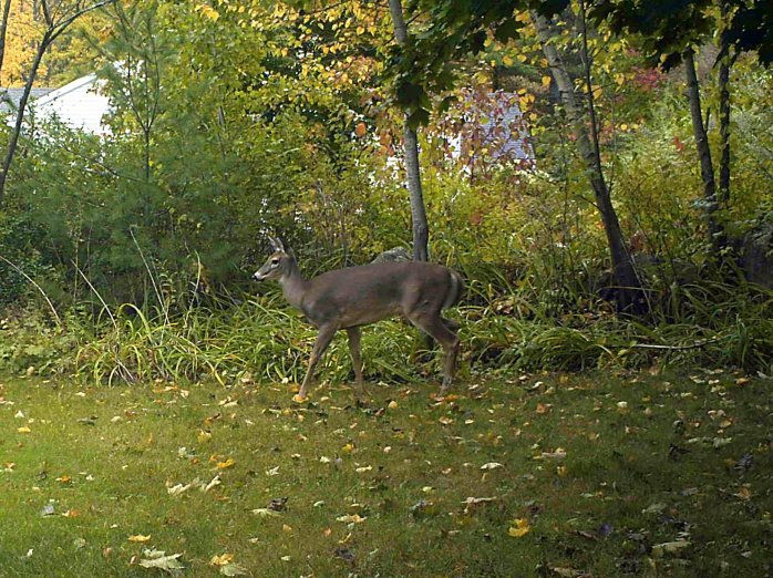 (motion camera) daytime deer, 14 Oct