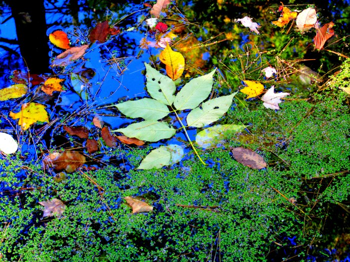 duckweed and fall leaves, NH open garden, Oct. 2015