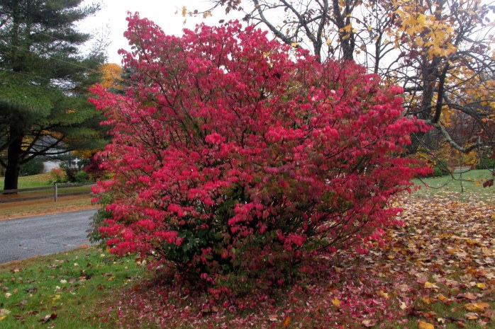 red euonymus bush, 22 Oct.