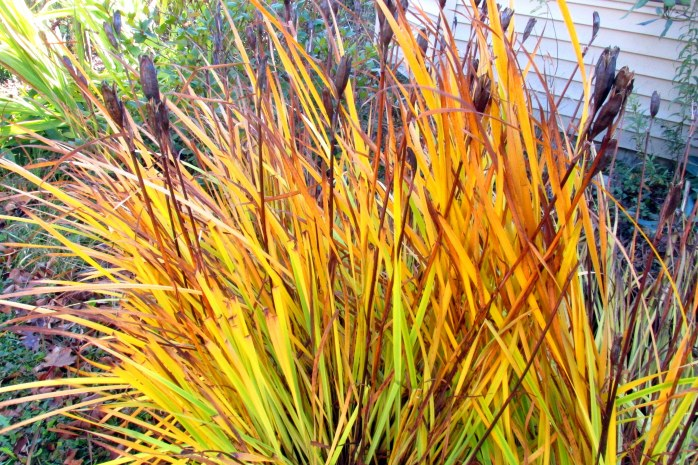 flaming yellow iris foliage, 4 Nov