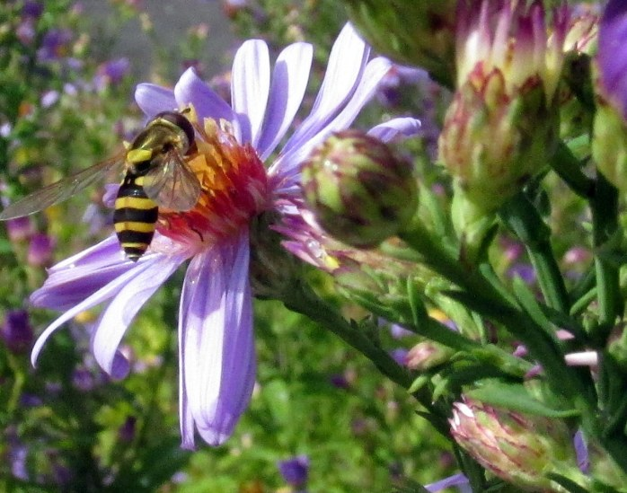 hoverfly on 'Bluebird' asters, 4 Oct.