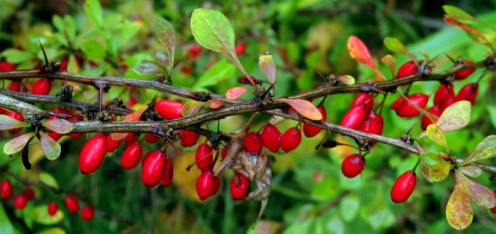 Japanese barberry, NH garden, Oct. 2014