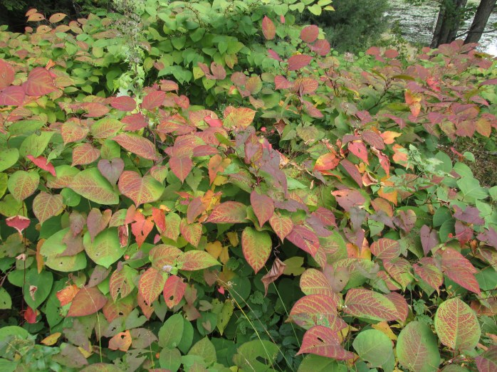 knotweed in fall colour, NH trail, Oct. 2015