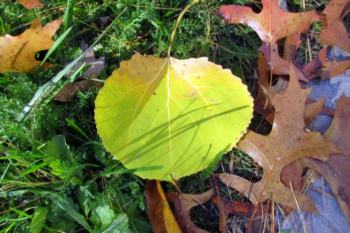 large aspen leaf and oak leafs, back yard, 4 Nov.