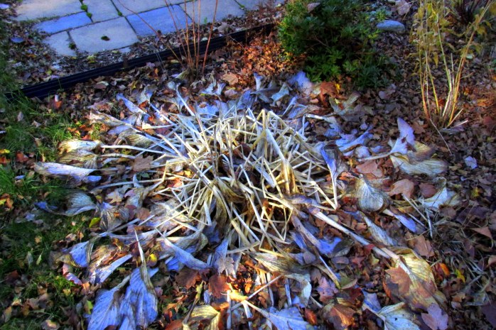 large (unk. species) hosta melting into the ground, shade garden, 4 Nov.