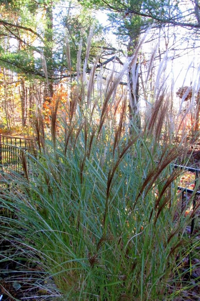 Miscanthus sinensis 'Gracilimus'grass, 4 Nov.