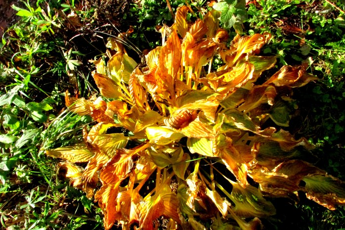 'Loyalist' hosta after some frost, 19 Oct.