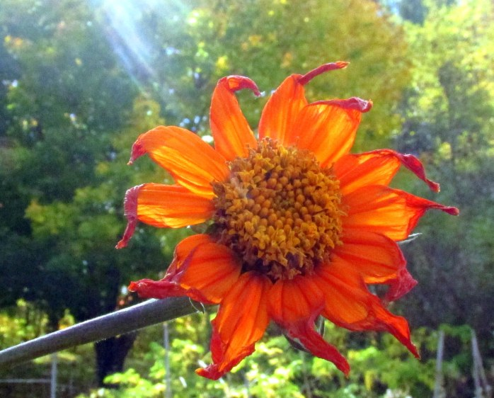 Mexican sunflower bloom after some frost, 19 Oct.
