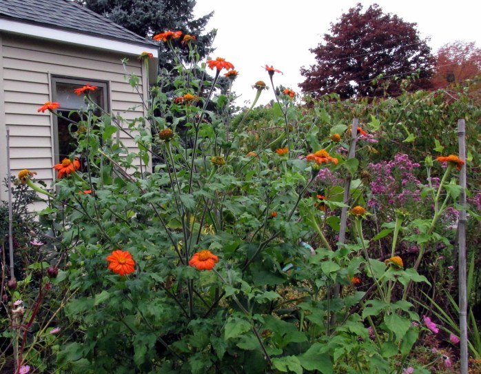 Mexican sunflower patch, 9 Oct.