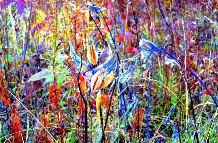 milkweed and brambles, NH meadow, Nov. 2013