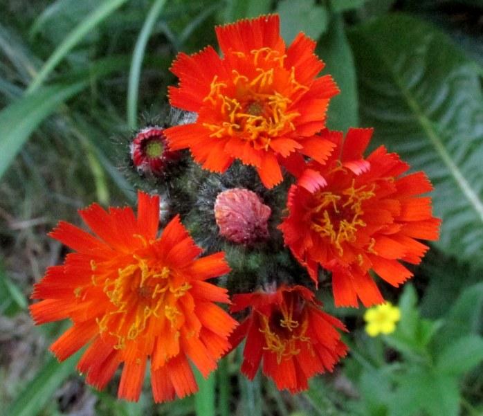 orange hawkweed, NH garden, June 2016