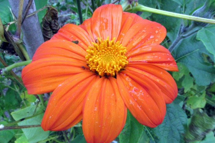 Mexican sunflower, 9 Oct.