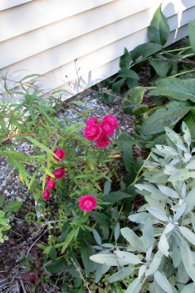 pink asters, sage, comfrey, 7 Oct.