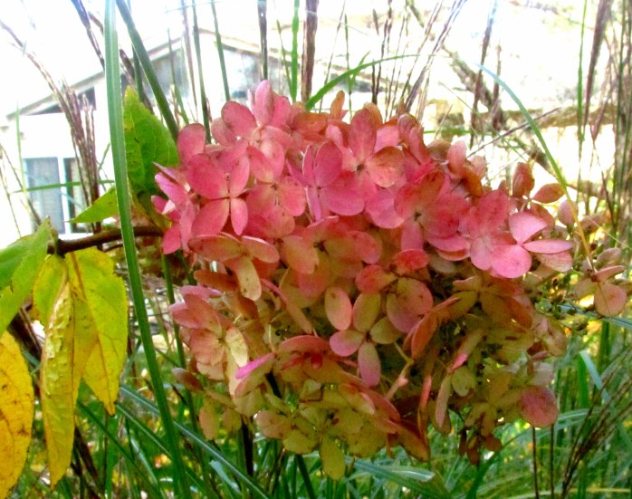 hydrangea bloom, 19 Oct.