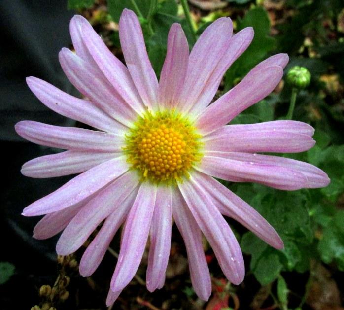pink perennial mum, 9 Oct.