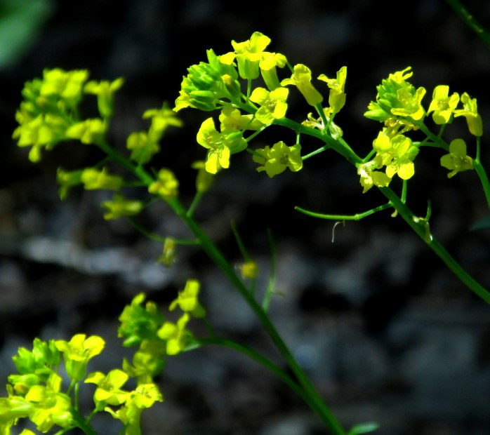 Brassica nigra (black mustard), NH rail trail, June 2014