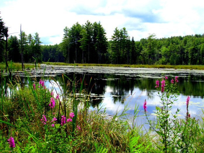 purple loosestrife, NH pond, Aug. 2014