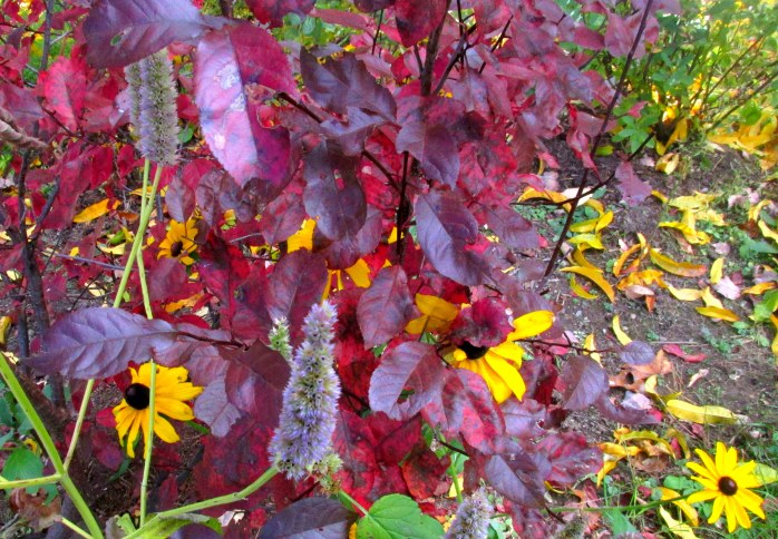 purple sand cherry, anise hyssop, black-eyed Susan, fruit guild, 19 Oct.