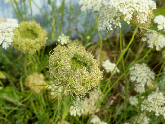 Queen Anne's lace, NH garden, Aug. 2012