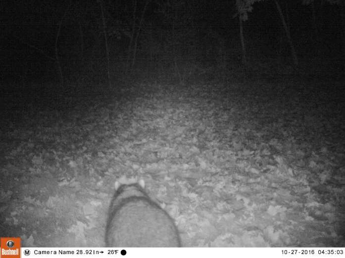 (motion camera) raccoon rear, 27 Oct