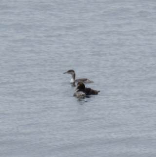 red-necked grebe and common eider