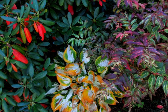 rhododendron, 'Loyalist' hosta, and leucothoe foliage, 7 Oct.