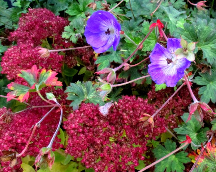 'Rozanne' geranium and 'Autumn Joy' sedum, 19 Oct.