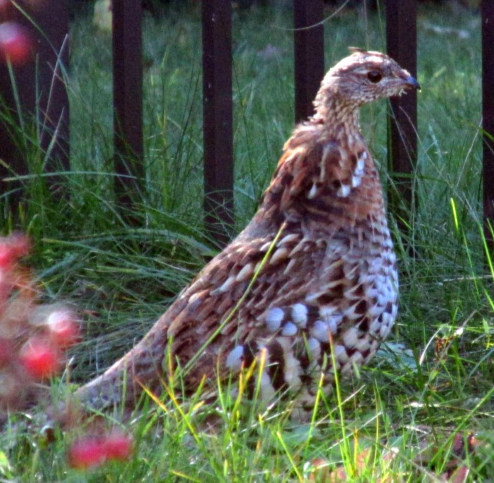 ruffed grouse! 6 Oct.