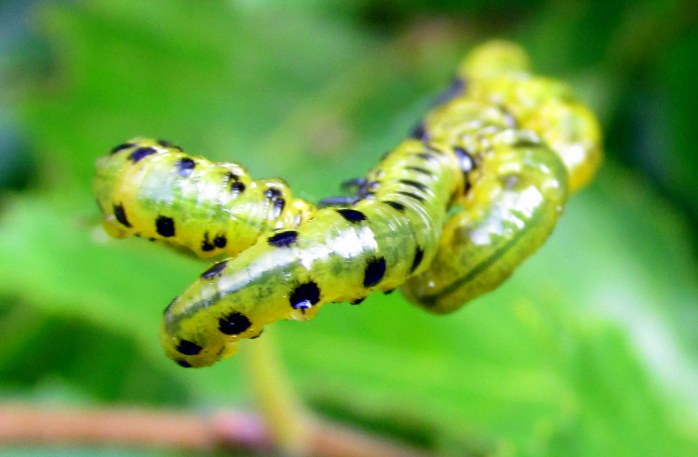 sawfly larvae on dwarf 'River King' birch, 4 Oct. ... I left them there because frost was coming for them anyway