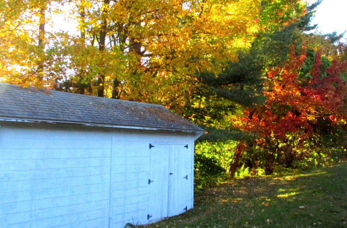 fall foliage by the shed, 12 Oct.