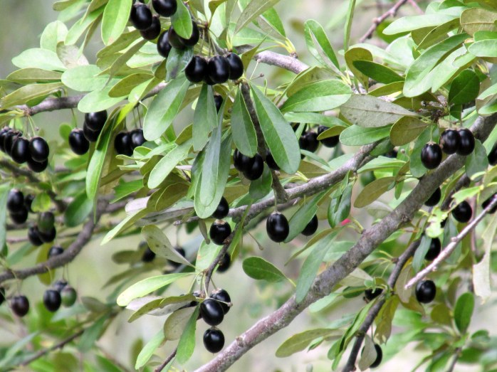 Sideroxlyon tenax (tough buckthorn) berries, Jekyll Island, Sept. 2014