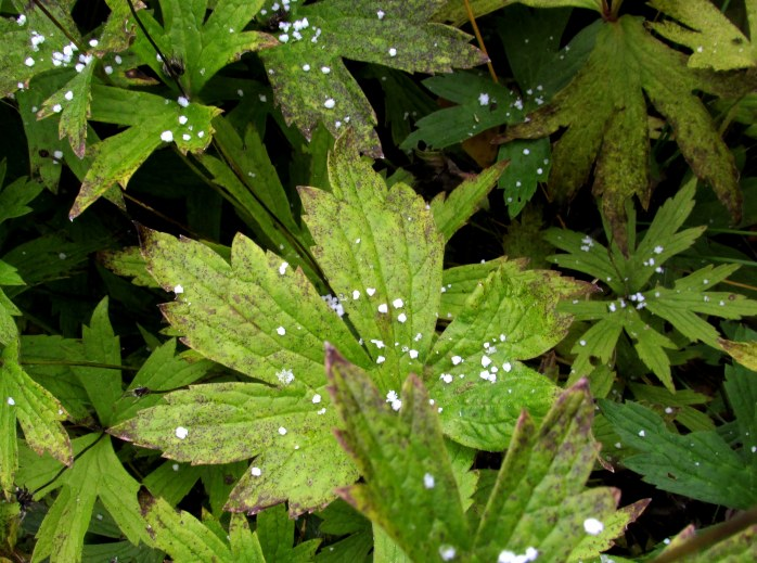 snow! on anemone leaves, 25 Oct