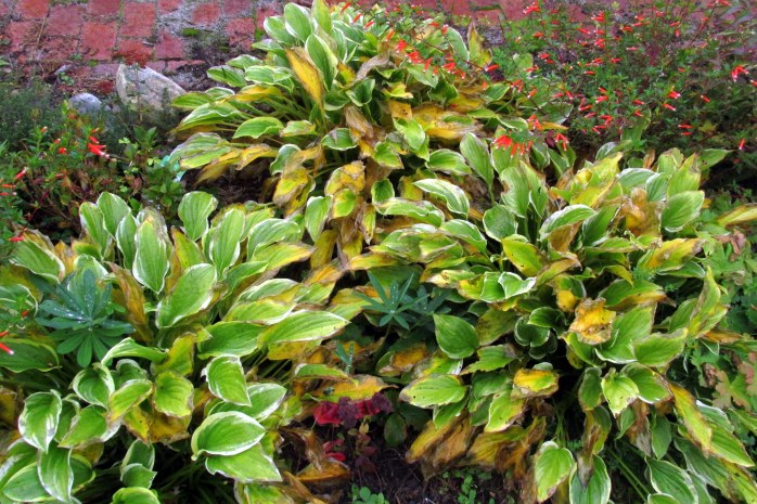 'So Sweet' hosta foliage, 9 Oct. (you can see the annual Vermillionaire firecracker plant in the background looking good, too)