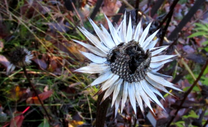 echinacea, looking like a negative of its former self, back border, 4 Nov.
